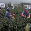 早茶节开园采摘活动举行2020年宜宾早茶正式上市