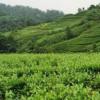 宜宾茶打开新市场在互联网这个广阔平台闯出一片新的天地