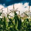 多光谱图像合成在精准农业中的作物 杂草分割